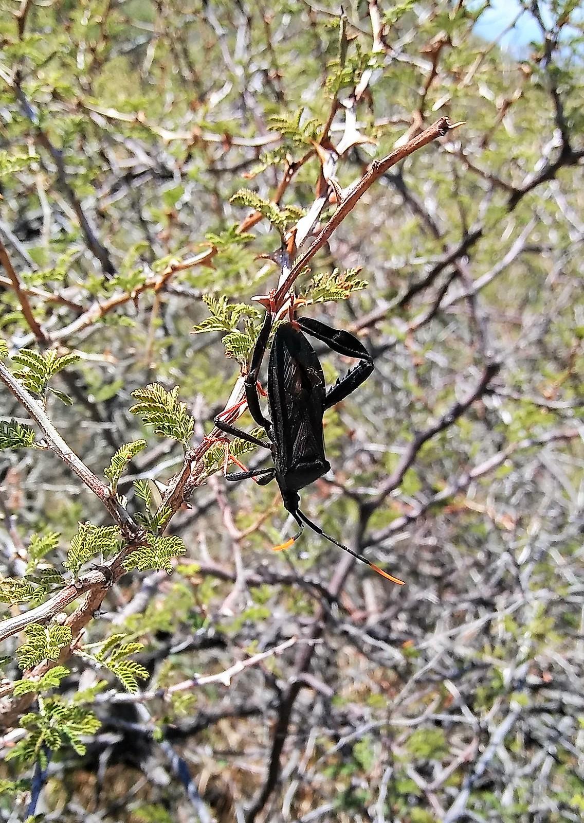 Bug, Organ Mountains, NM