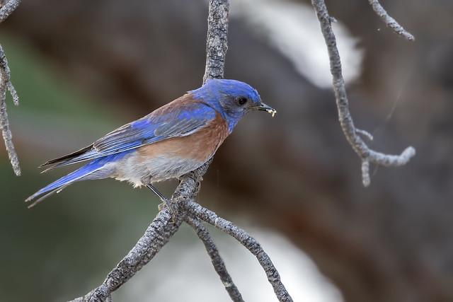 Western-Bluebird-6-7D2-060817