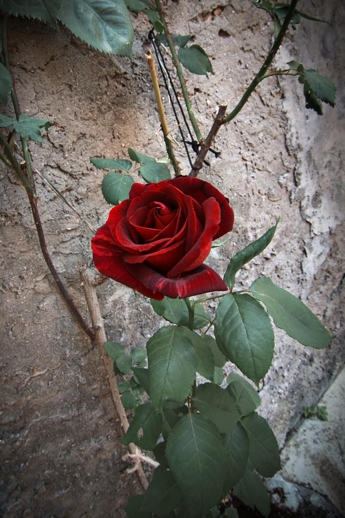 ... E Come Tutte Le Più Belle Cose, Vivesti Solo Un Giorno Come Le Rose  