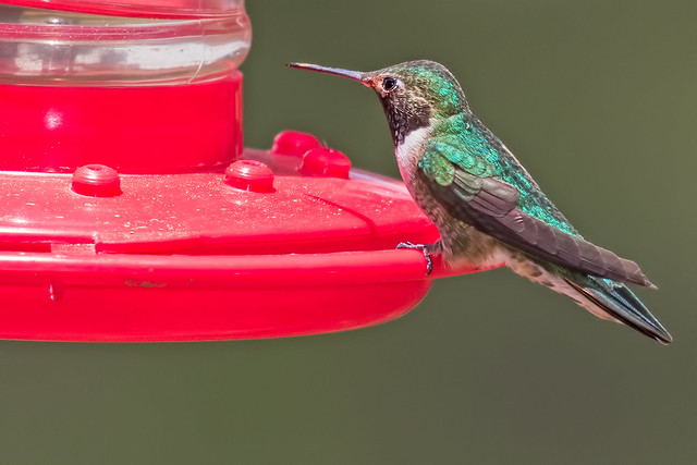 Broad-tailed-Hummer-7-7D2-060817