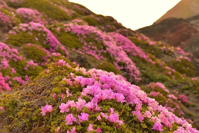 高千穂峰 満開のミヤマキリシマ