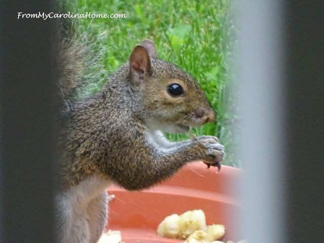 Squirrel buffet at From My Carolina Home