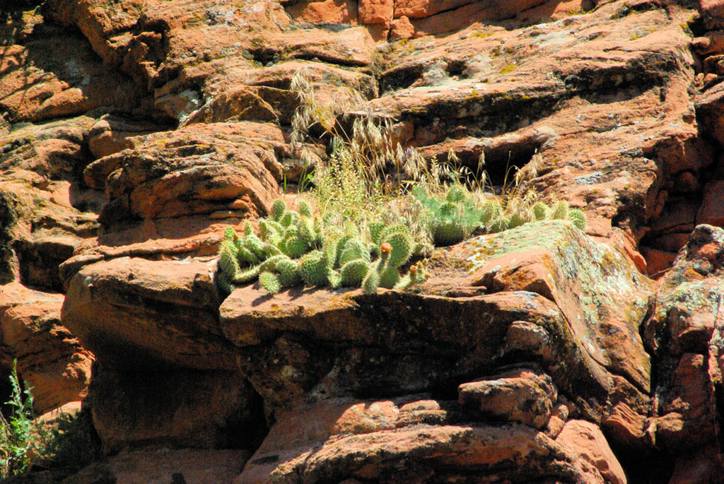 Prickly pear cactus on a canyon wall ledge, LaPrele Canyon, Ayres Natural Bridge Park, Converse County, Wyoming