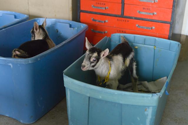 goat farm-9