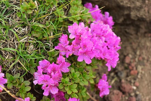 高千穂峰 岩場に咲くミヤマキリシマ