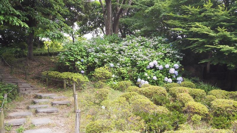 勝竜寺公園の紫陽花は1株だけ!
