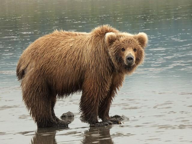 Oso en Lake Clark (Alaska)