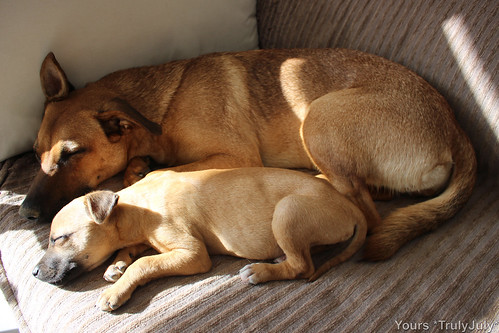 Chances are your dog will enjoy the companionship of a second dog. Just like Lola loves her Mini-Me. :)