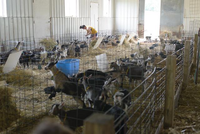 goat farm-30
