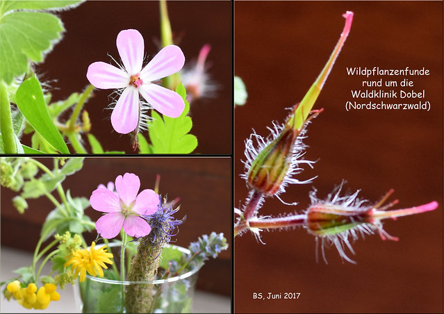 Wildpflanzenfunde rund um Dobel (Nordschwarzwald). Juni 2017 ... Foto: Brigitte Stolle
