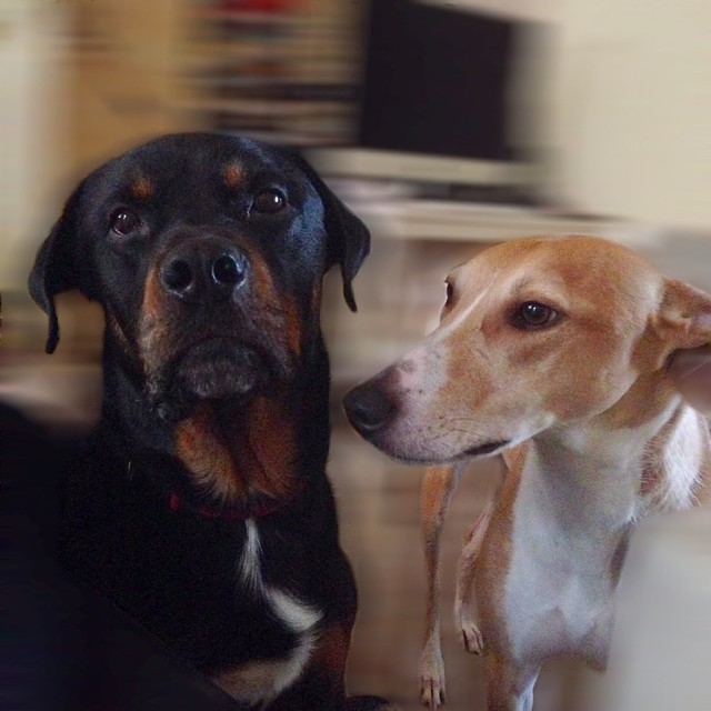 Rottweiler and Lurcher