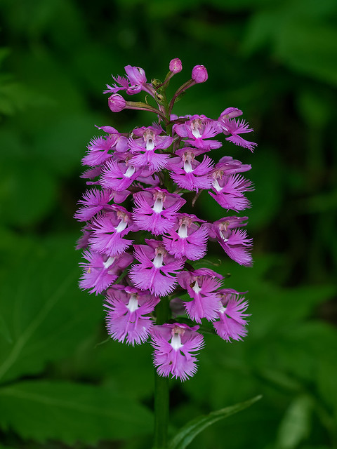 Large Purple Fringed orchid