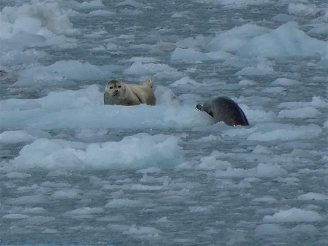 Focas sobre el hielo en un glaciar de Alaska (fiordos de Kenai)