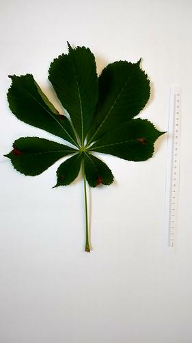 Aesculus leaf