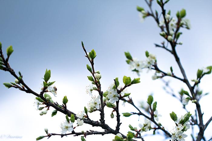 kirsikkapuu kukassa