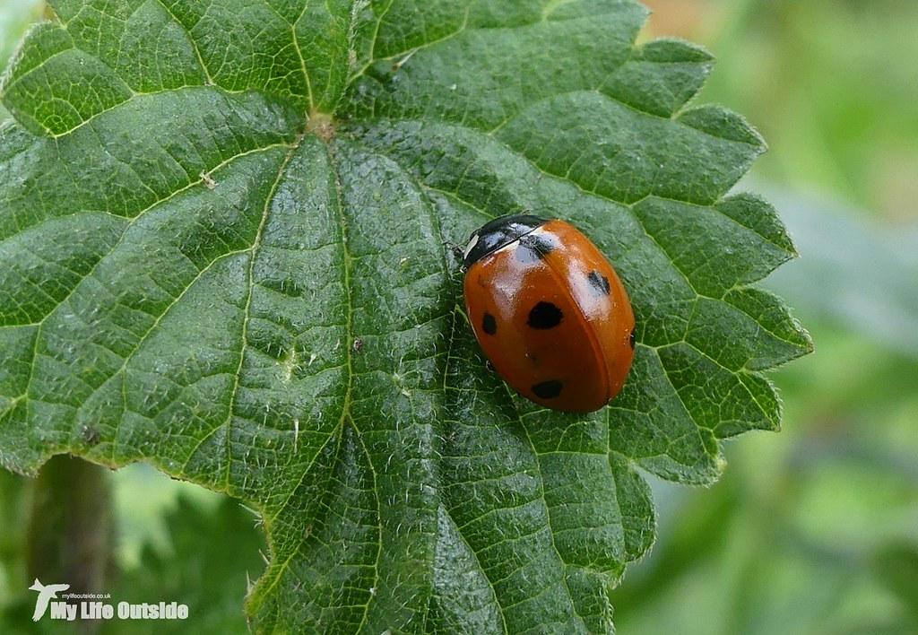 P1080505 - 7-Spot Ladybird