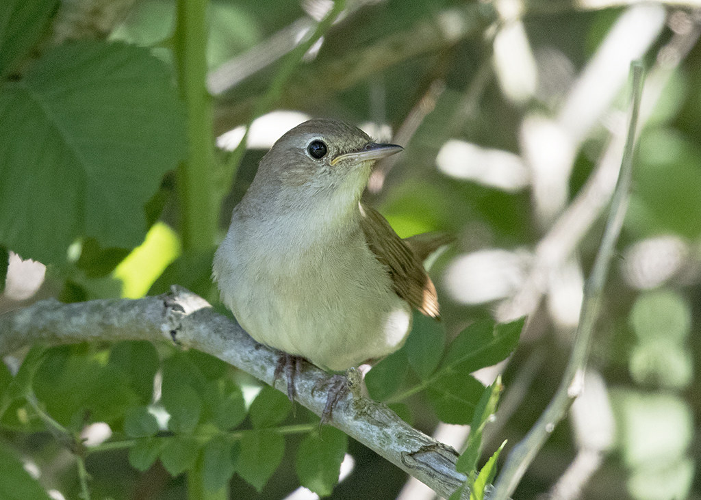 Nightingale  Luscinia megarhynchos, Bulgaria.