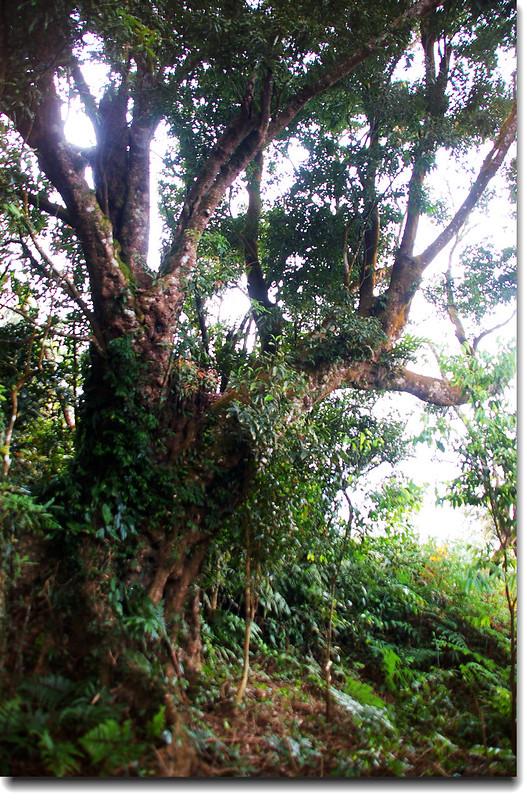 久集山休息站旁巨木