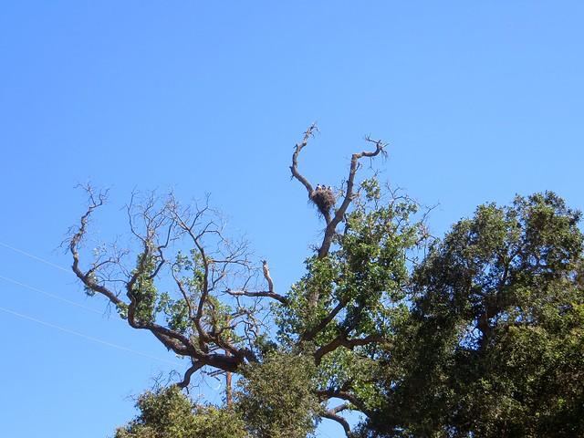 hawks nesting