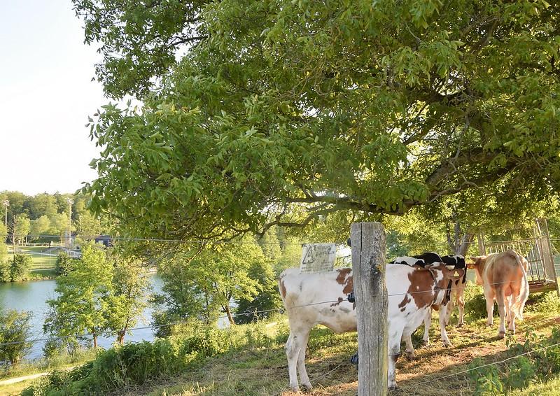 Cows 25.05.2017