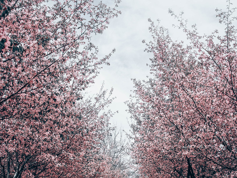 P5206932.jpgLightPinkCherryTreesHelsinkiCherryBlossom, cherry blossom, cherry tree bloom, kirsikkapuut, kirsikkapuisto, suomi, finland, helsinki, roihuvuori, kevät, toukokuu, may, spring, photography, valokuvaus, photos, harmaa, gray, light pink, vaaleanpunainen, olympus, camera, kamera, cherry park, flowers, kukat, maisema, view, kirsikankukat, cherry flowers, kirsikkapuut,