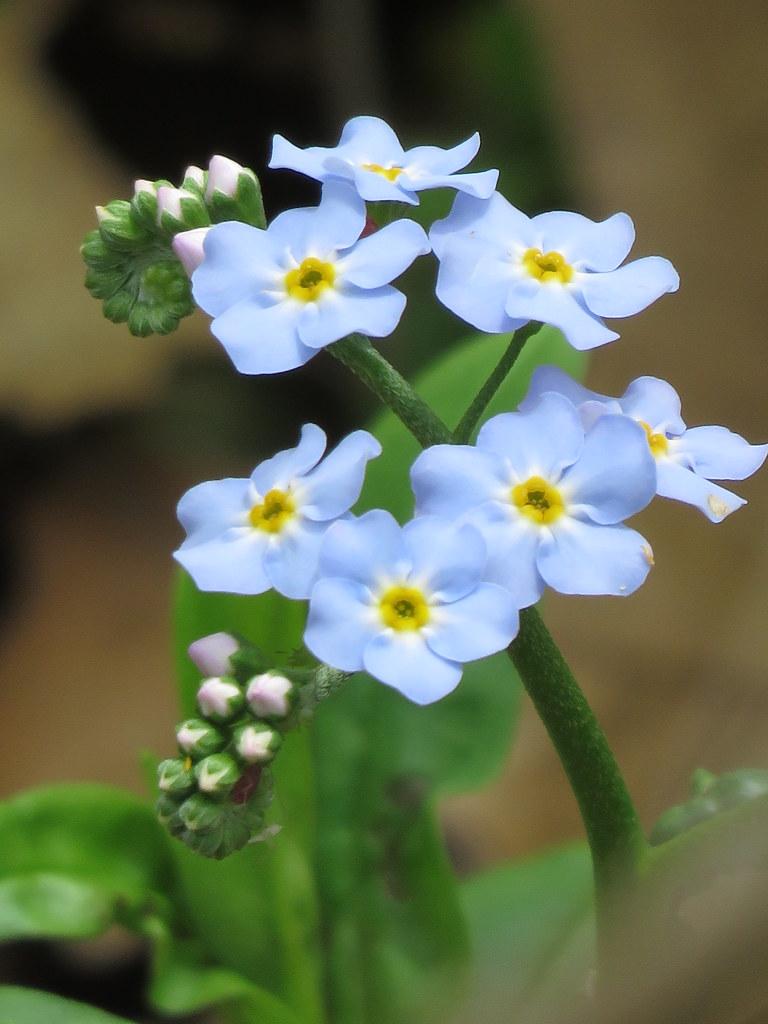Tiny Blue Flowers Sam Morrison Flickr