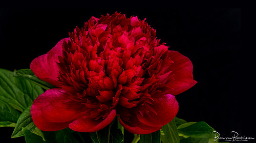 Red Charm (Paeonia lactiflora) Peony