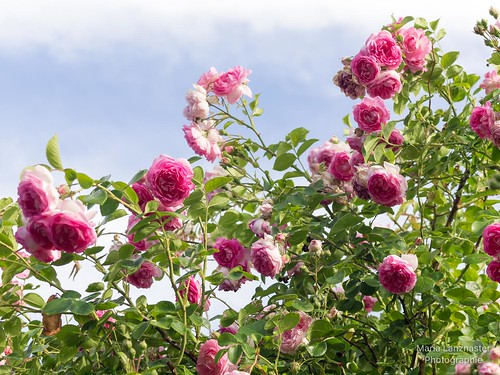 Ein Himmel voller Rosen ...