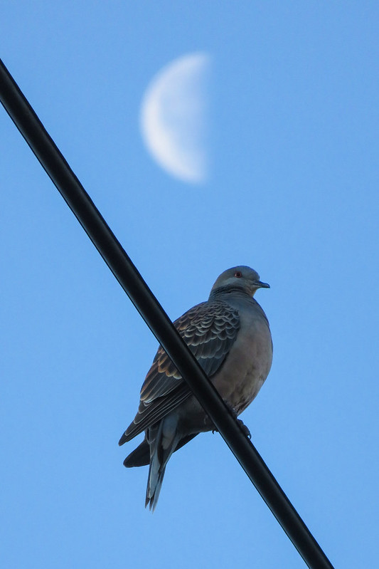 A Oriental turtle dove and the moon