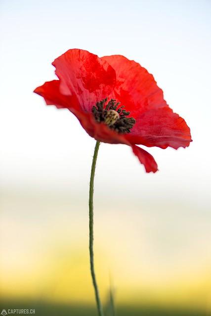 Poppy - Tuscany