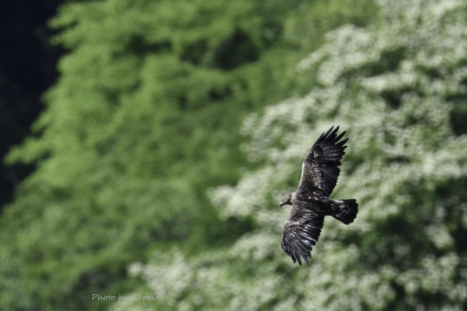 Golden eagle(Endangered species)