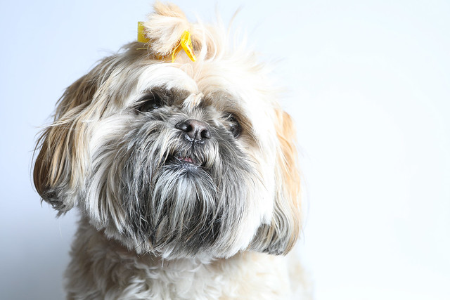 shih-tzu-dog-breed-birth-month
