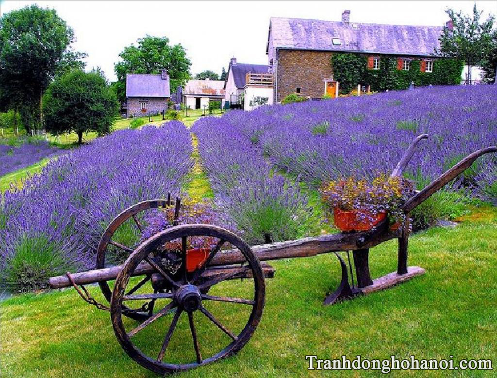 Hinh nen hoa lavender oai huong cho iphone
