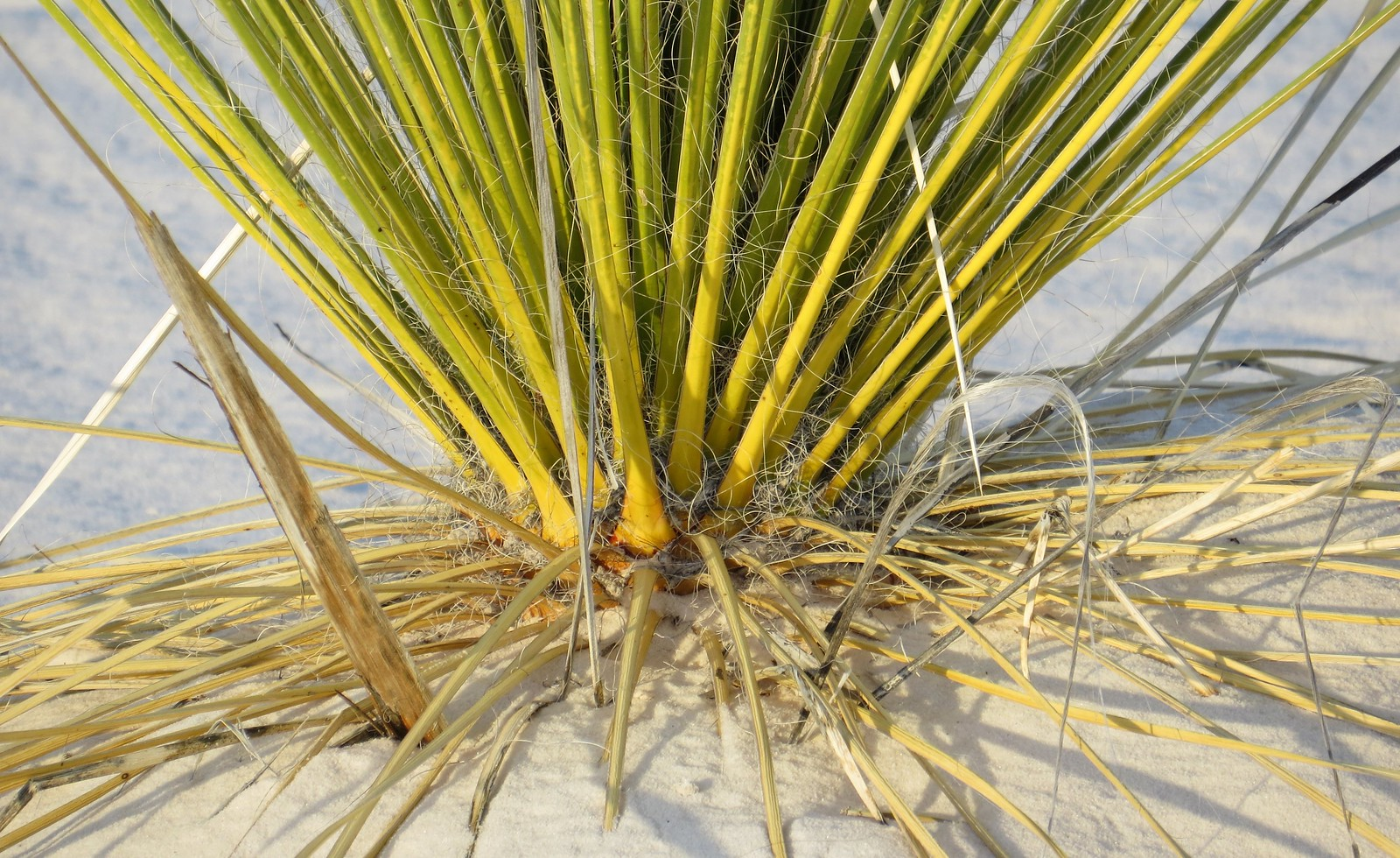 Yucca, White Sands, New Mexico