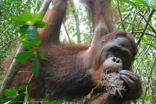 Orangutan of the Month Voyce Orangutan Foundation International Borneo Indonesia Orangutan Rainforest Conservation