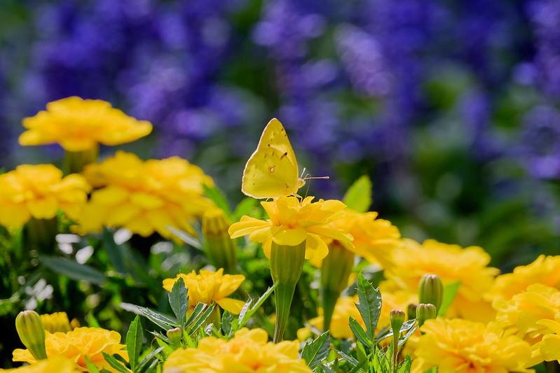 モンキチョウ yellow butterfly