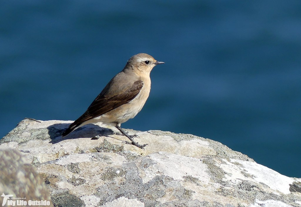 P1070881 - Wheatear, Strumble