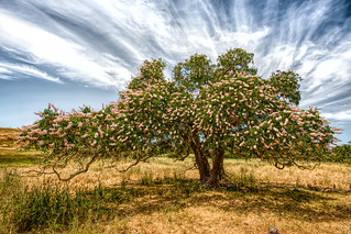 California Buckeye | by Leo Laporte