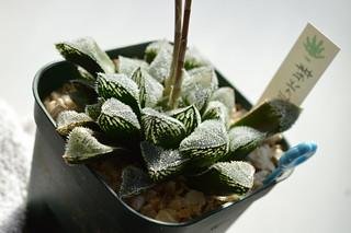 DSC_5791 Haworthia cv. 'Shin Kourizatou'  ハオルチア 新氷砂糖