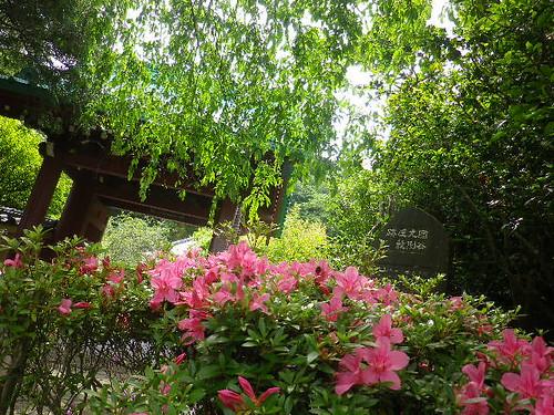 17.05.25 鎌倉「光則寺」私にとって初夏の風物詩、鉢植えのヤマアジサイ/ガクアジサイ。 http://mitch1.blog.so-net.ne.jp/2017-05-27-6