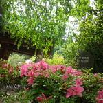 01)  日蓮宗 「 行時山 光則寺 」_ 鎌倉市長谷   17.05.25 鎌倉「光則寺」私にとって初夏の風物詩、鉢植えのヤマアジサイ/ガクアジサイ。