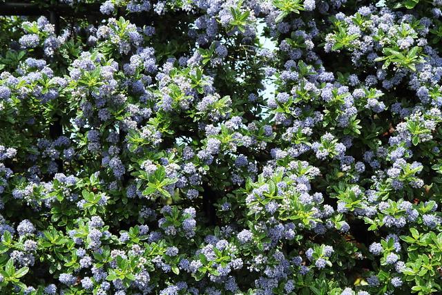 Californian Lilac. Ceanothus