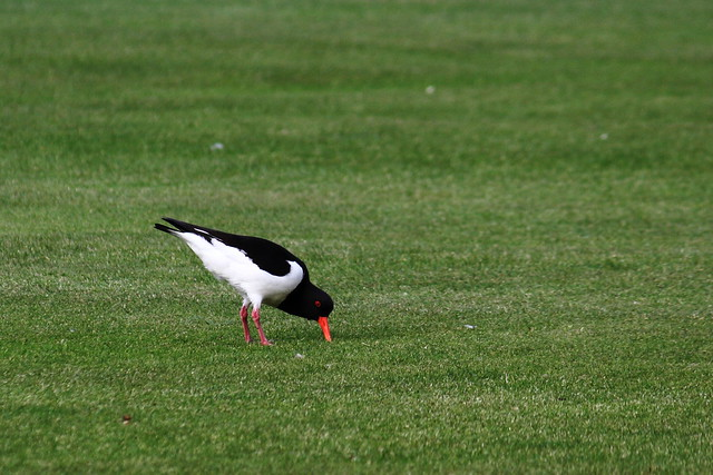 Oystercatcher digging