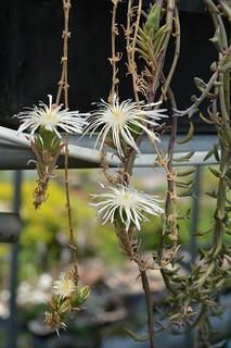 DSC_5960 Drosanthemum marinum  ドロサンテマム マリナム