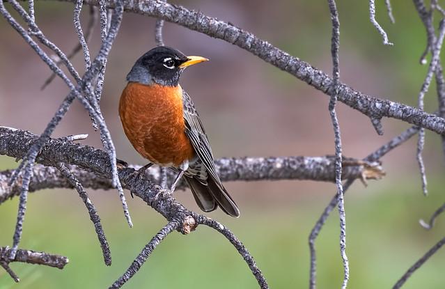 Robin-56-7D2-051417