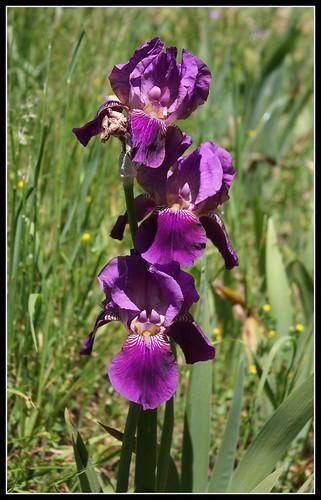 Iris 'Imperator' - Ferdinand Cayeux 1922 34805222222_828936ca84