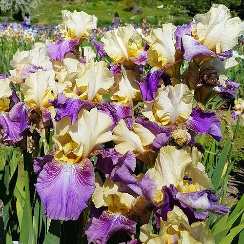 Irisblüte 20170528_105037