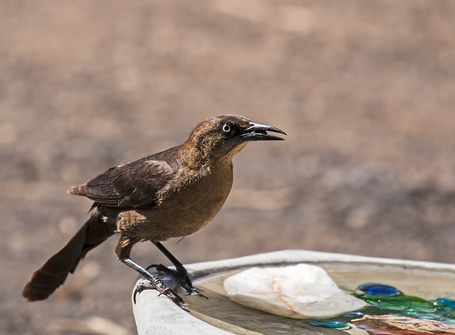 Great-tailed-Grackle-14-7D2-052117