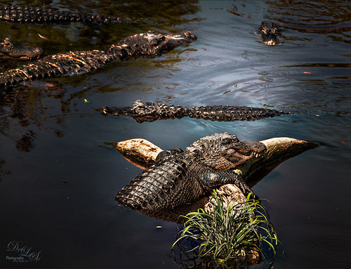 Image of Alligator visiting with his buddies at the St. Augustine Alligator Farm
