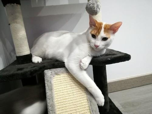 Gary, gatito blanco y naranja cruce Van Turco esterilizado muy activo nacido en Julio´16, en adopción. Valencia. ADOPTADO. 34935070966_20f00b5883